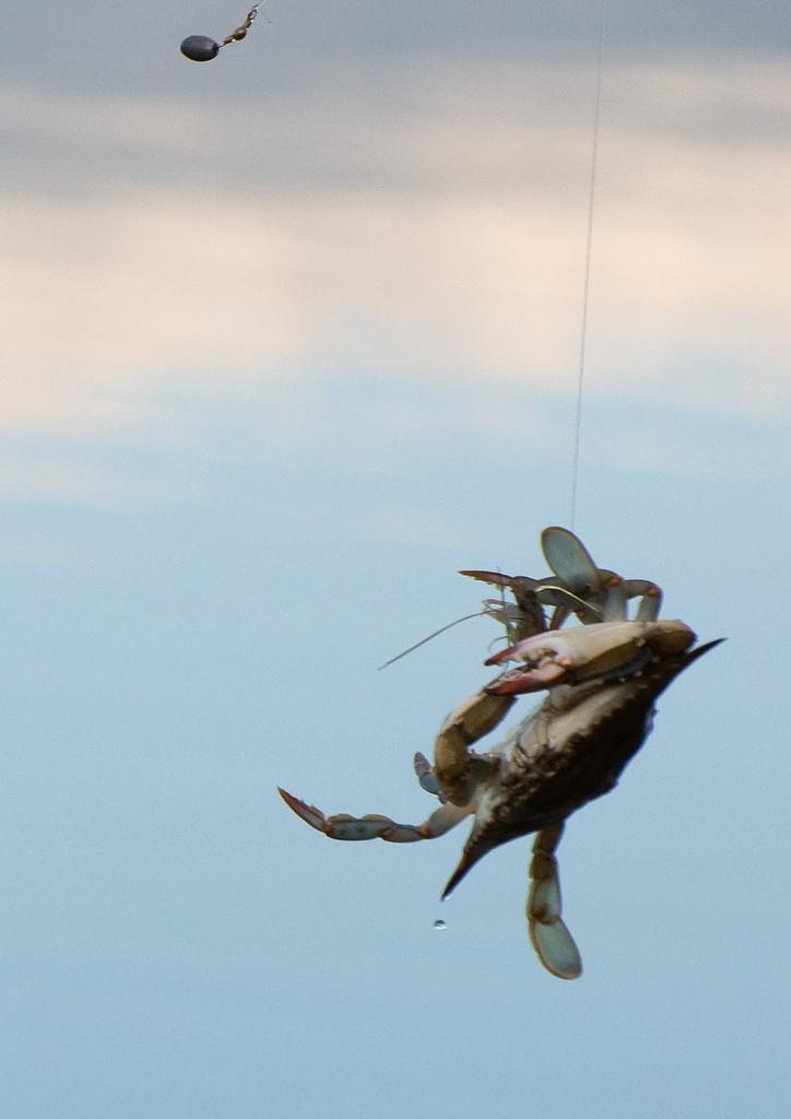 Crab in midair
