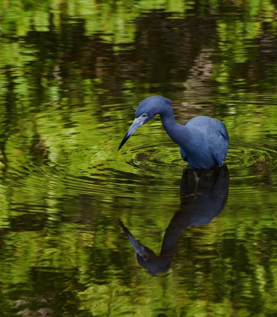 Blue heron's reflection